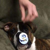 Boxer heeft een speen nodig om in slaap te komen